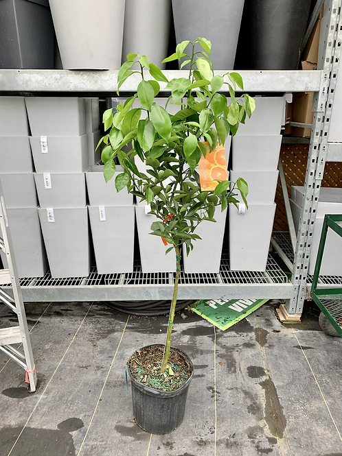 10 Gallon Citrus Orange Tree