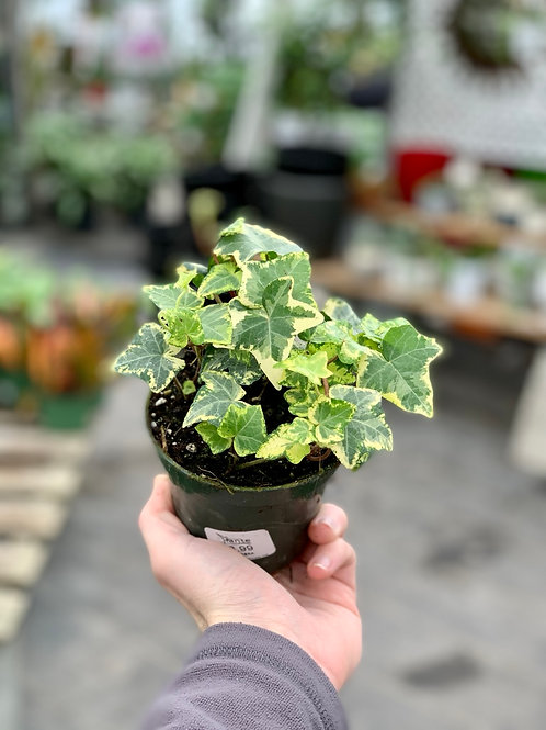 Hedera Lime Ivy (Variety #4)