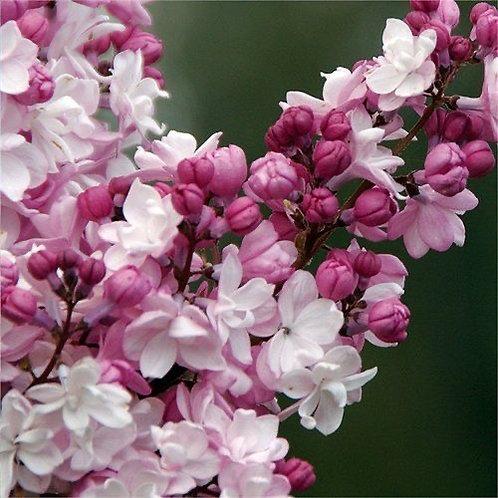 Syringa x hyacinthiflora 'Sweetheart'