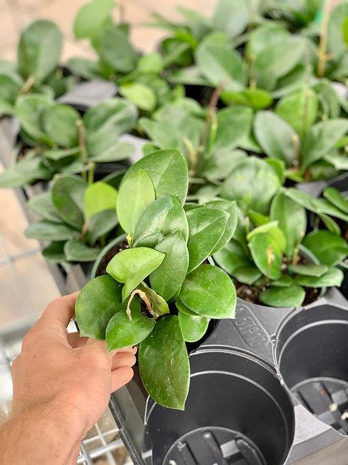 Hoya Australis Green