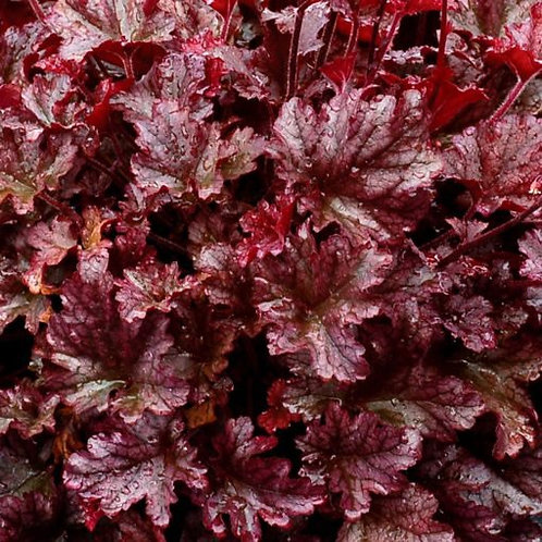 Heuchera 'Berry Marmalade' Coral Bells