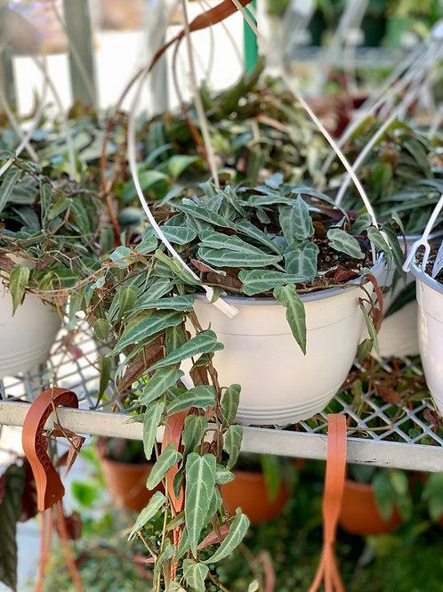 Cissus Amazonica Hanging Basket