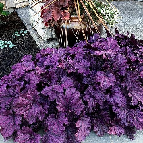Heuchera Forever 'Purple' Coral Bells