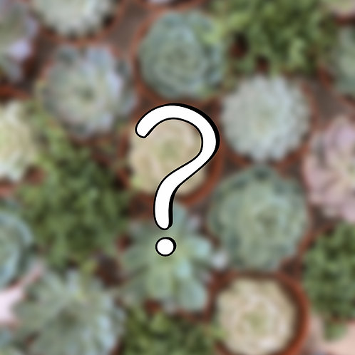 6-Pack Mystery Succulent Mix