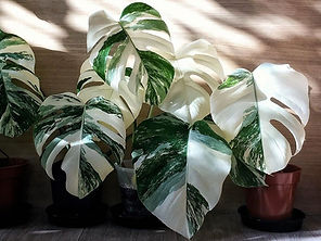 Variegated Albo Monstera