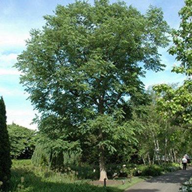 Gymnocladus dioicus 'Expresso' Kentucky Coffee Tree