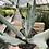 Thumbnail: Cotyledon Orbiculata Takbok