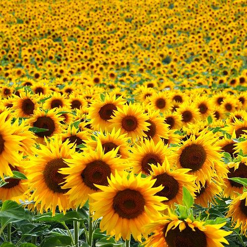 Annual Flowers & Vine Seeds
