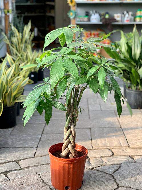 Pachira Aquatica Money Tree - Braided