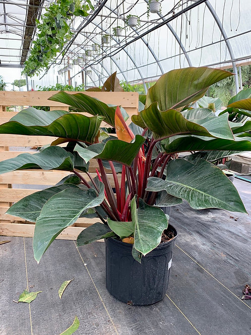 Philodendron Rojo (Red) Congo