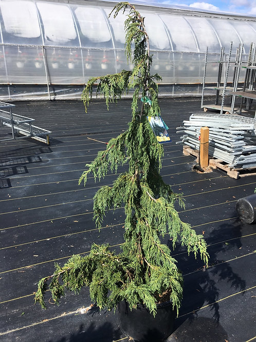Chamaecyparis Nootka False Weeping Cypress