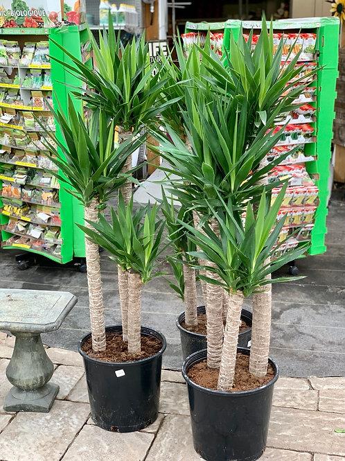 Yucca Cane 4-3-2