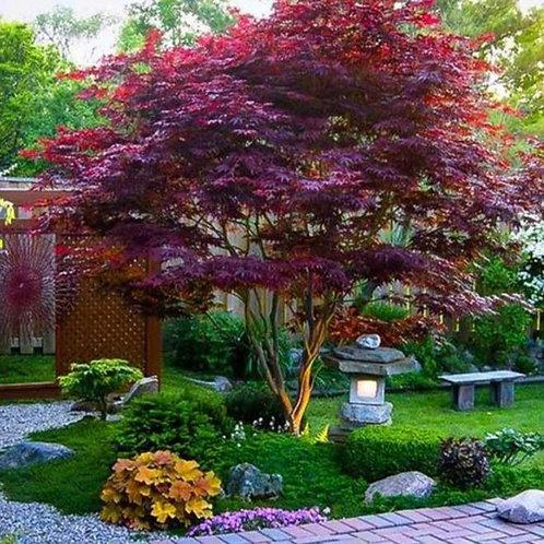 Acer palmatum 'Bloodgood' Japanese Maple