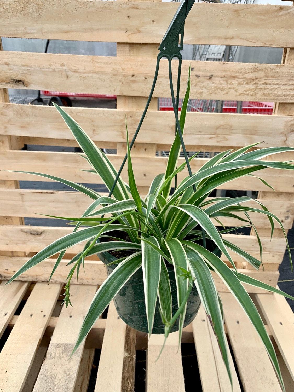 Reverse Variegated Spider Plant Hanging Basket Robert Plante