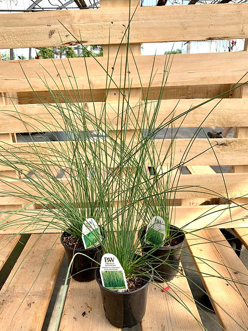 Graceful Grasses 'Blue Mohawk'