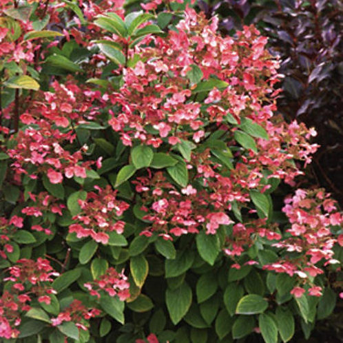 Hydrangea paniculata 'Quick Fire' PW