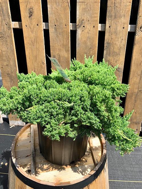 Dwarf Japanese Garden Juniper