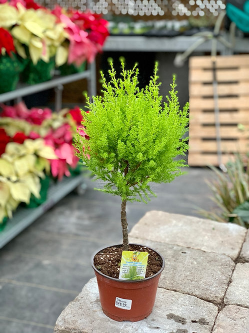 Goldcrest Lemon Cypress Topiary