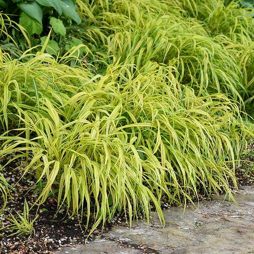 Hakonechloa macra 'Aureola' Hakone Grass