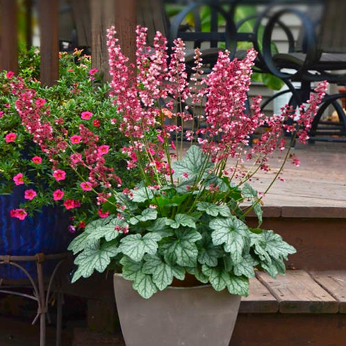 Heuchera 'Berry Awesome' Coral Bells