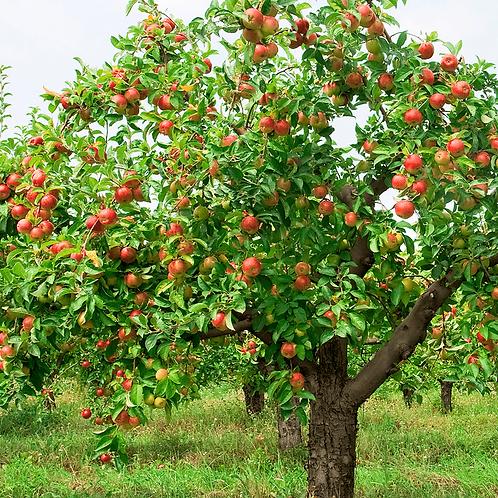 Malus x domestica 'Braeburn' Apple Tree