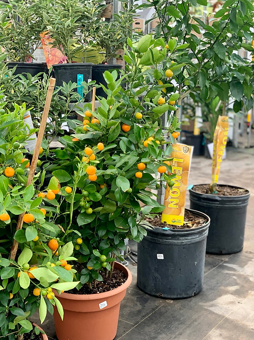 Calamondin Orange Bush