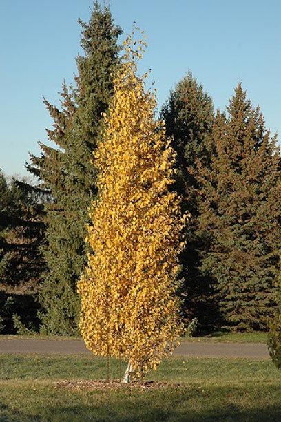 Betula 'Dakota Pinnacle'