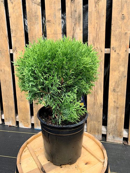 Thuja 'Little Giant' Globe Cedar