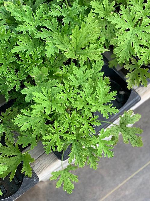 Lemon Geranium (Pelargonium Citronella)