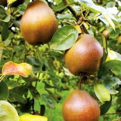 Pyrus 'Pear Combination' Tree