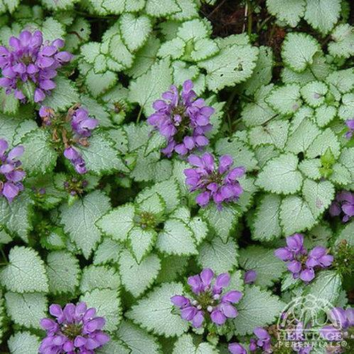 Lamium maculatum 'Purple Dragon'