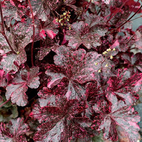 Heuchera 'Midnight Rose' Coral Bells