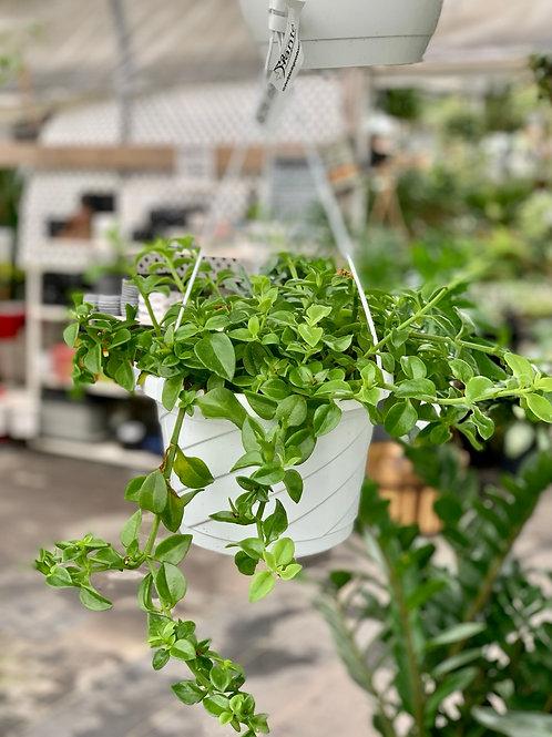 Aptenia Cordifolia 'Green Cat Tongue' Hanging Basket