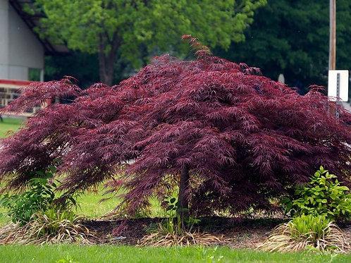 Acer palmatum dissectum 'Crimson Queen' Japanese Maple