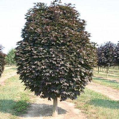 Acer platanoides 'Crimson Sentry' Maple