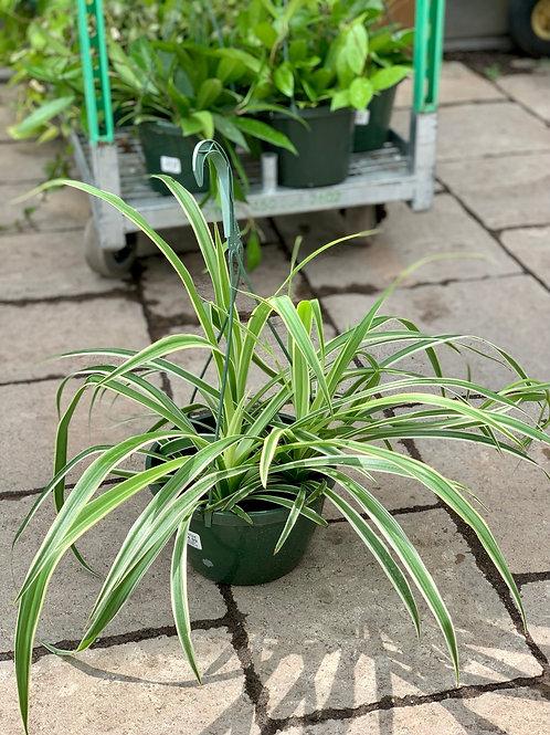 Reverse Variegated Spider Plant Hanging Basket