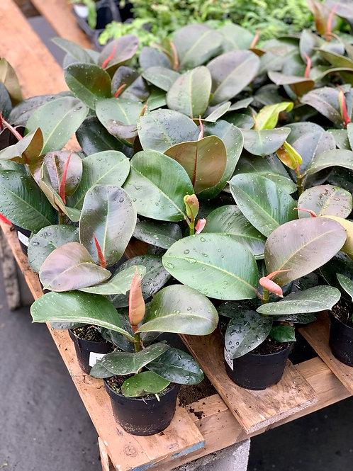 Ficus Elastica 'Sophia'