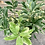 Thumbnail: Variegated Pink Lemon Bush