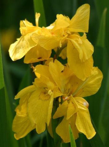Iris 'Sun Cascade'