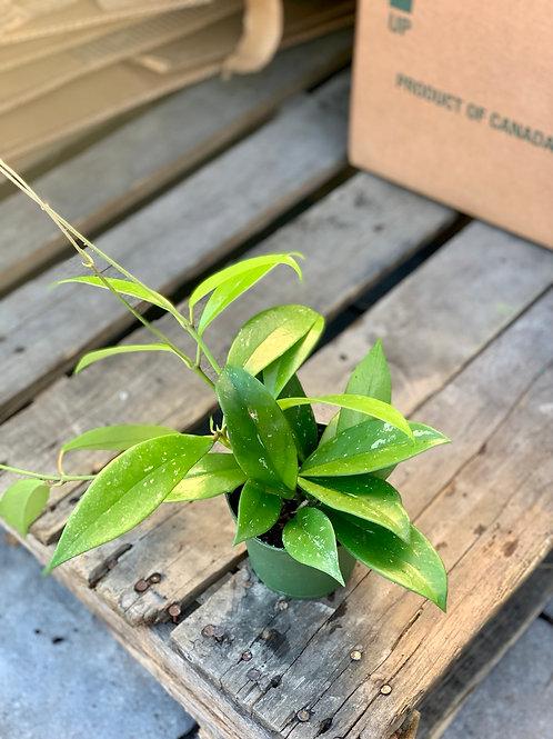 Hoya 'Pubicalyx'