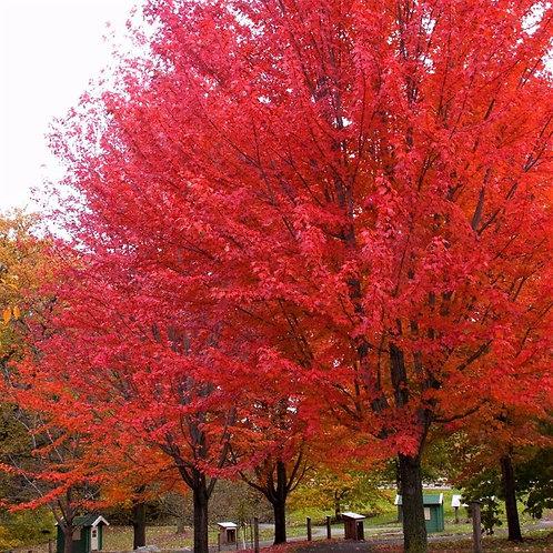 Acer x freemanii 'Autumn Blaze' Maple