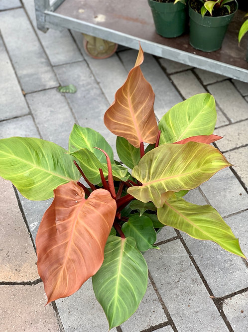 Philodendron 'McColley's Finale'