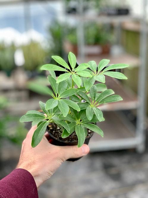 Schefflera Arboricola Bush 'Umbrella Plant'