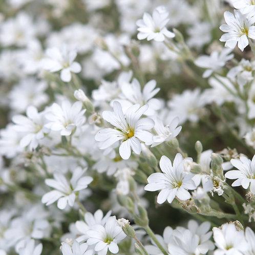 Cerastium Tomentosum Snow-In-Summer