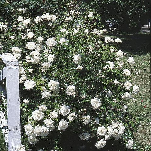 Climbing Rose 'White Dawn'