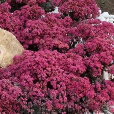 Sedum 'Dazzleberry' (Stonecrop)