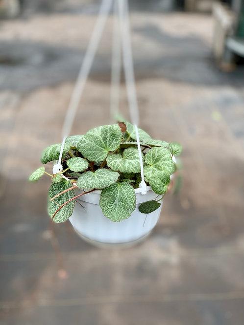Strawberry Begonia Hanging Basket