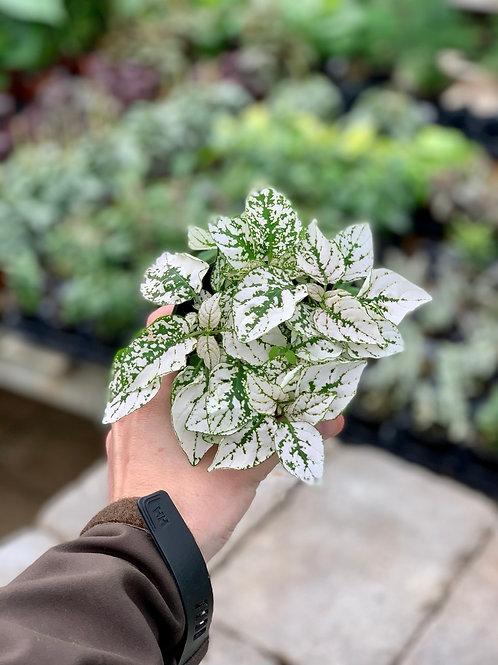 Hypoestes 'Polka Dot Plant'
