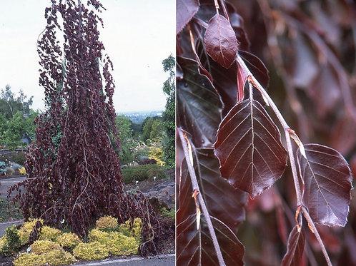 Fagus sylvatica 'Purple Fountain'