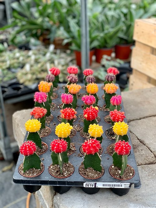 "2.5"" Grafted Cactus Assorted"